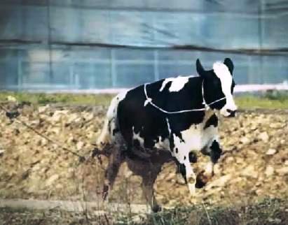 젖소의 탈출
