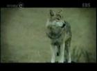 늑대들의 합창