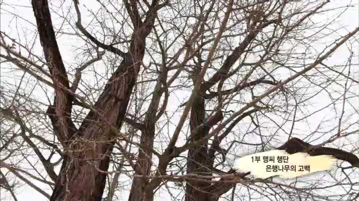 다큐프라임, 한반도 대서사시 나무 1부 맹씨행단 은행나무의 고백