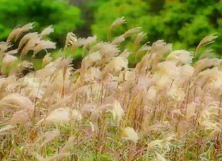 가을아 멈추어다오~!!, [한국기행] 억새로 가득한 가을 대표산 강원도 정선 민둥산, .가을 소리를 실은 바람에 출렁이는데...