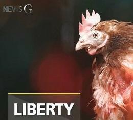 닭장을 나온 암탉 '리버티', 살충제 계란 논란에 또 다시 희생되고 있는 암탉..그들에게, 좀 더 좋은 환경을 제공해주는 것은 불가능할까?