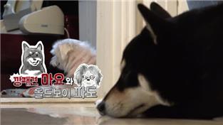 세상에 나쁜 개는 없다 시즌2, 깡패견 마요와 올드보이 파도