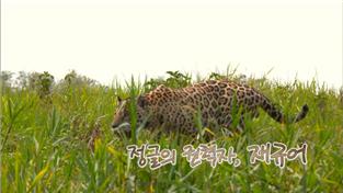 경이로운 자연의 세계(HD), 정글의 권력자, 재규어