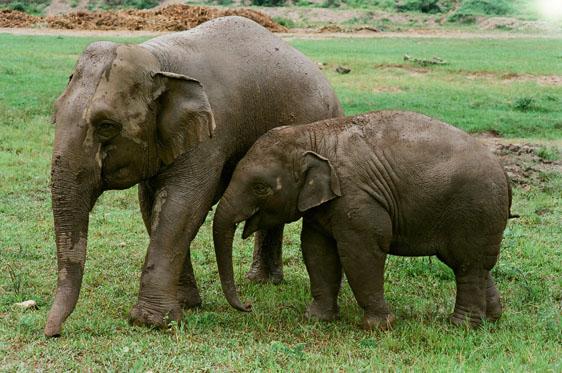 코끼리와 바나나