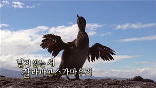 날지 않는 새, 갈라파고스가마우지