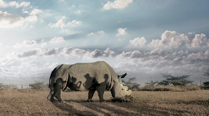 마지막 코뿔소