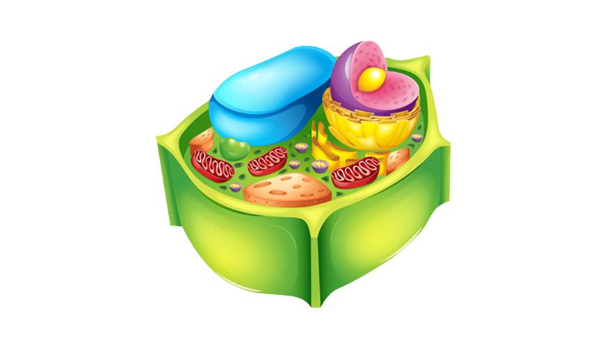 식물 세포 핵