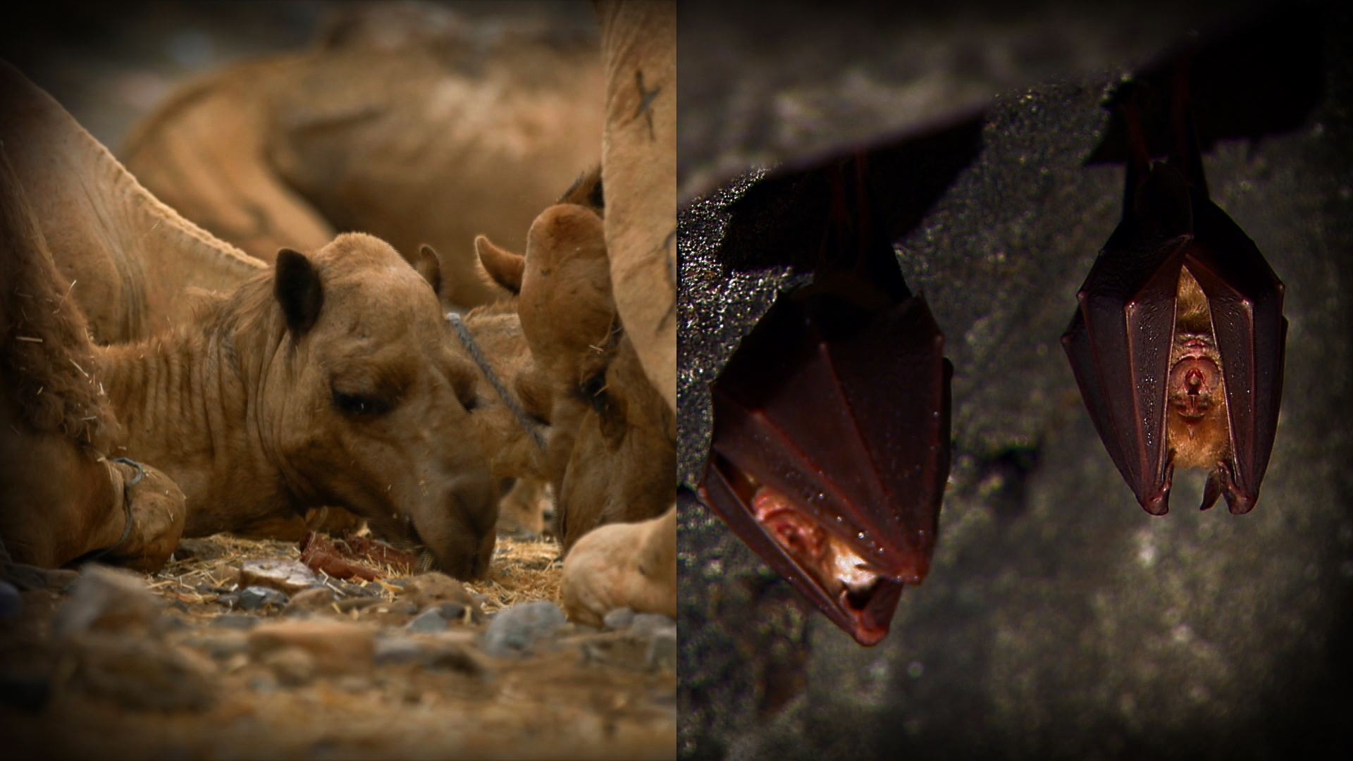 낙타와 박쥐는 어떻게 만났을까?