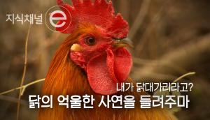 닭은 정말 멍청할까?
