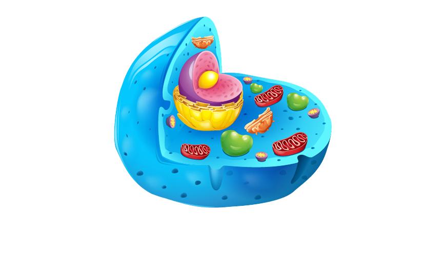 동물 세포 핵